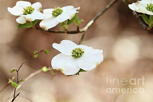 Beautiful White flowering dogwood blossoms by Stephanie Frey
