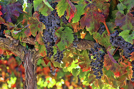 Beautiful Wine on the Vine Tuscan Styled Fall Colored Vineyard by Stephanie Laird