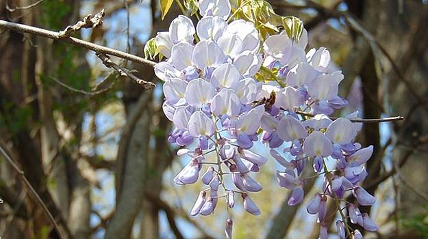 Beautiful Wisteria by Charlotte Gray