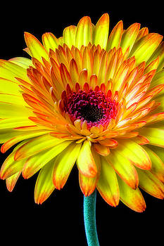 Beautiful Yellow Orange Gerbera Daisy by Garry Gay
