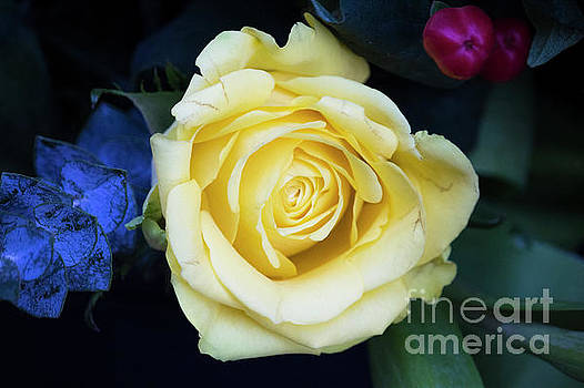 Beautiful yellow rose by Maxwell Dziku