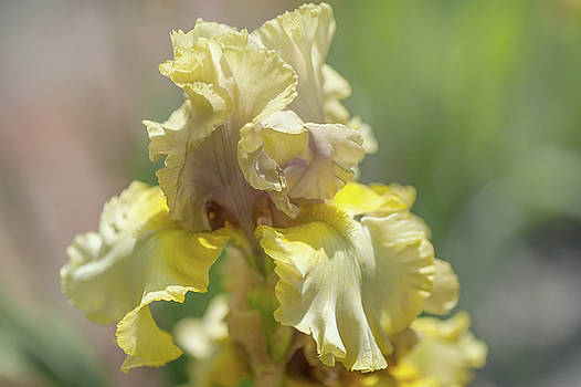 Beauty Becomes Her. Close Up. The Beauty of Irises by Jenny Rainbow