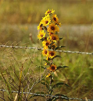 Beauty Behind Barbed Wire by Sheila Brown