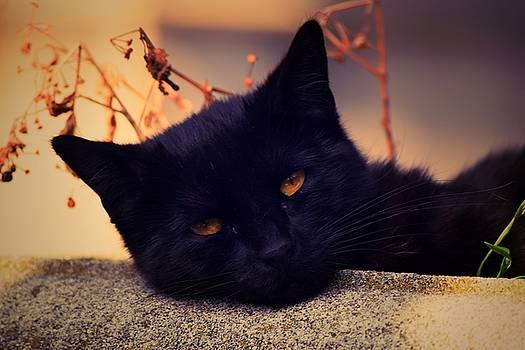 Beauty cat by Valerie Dauce