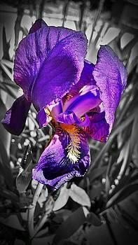 Beauty of An Iris by Kevin D Davis