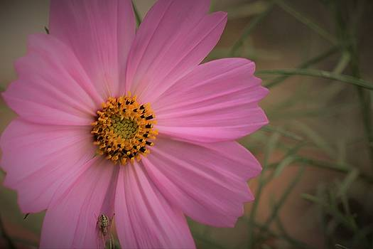 Beauty of cosmos by Khalid Saeed