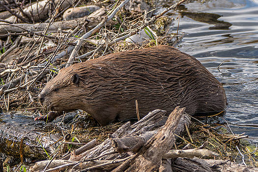 Randy Straka - Beaver at a Dam