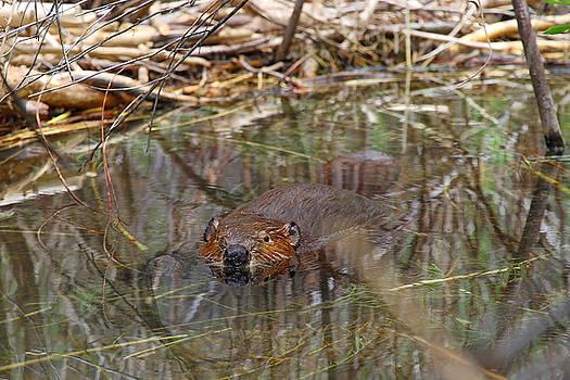 Beaver Look by Sharon I Williams