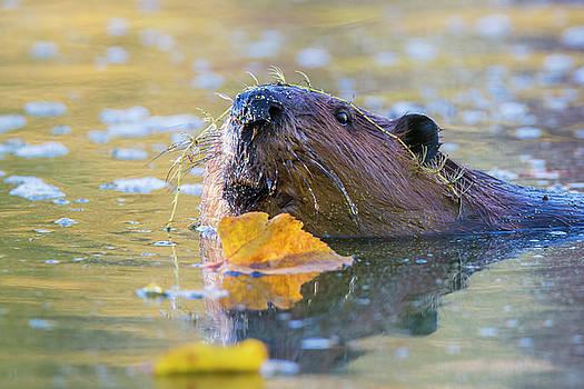 Beaver Portrait by Mircea Costina Photography