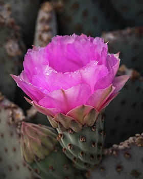Beavertail Prickly Pear-_MG_416118 by Rosemary Woods-Desert Rose Images