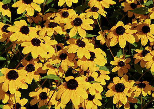 Bed Of Black-Eyed Susans by Don White