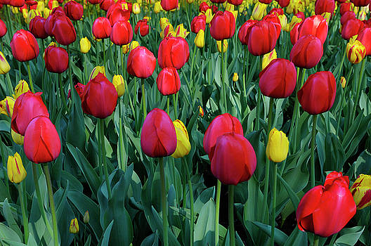 Reimar Gaertner - Bed of Red Impression and red and yellow Washington Tulips at Ot