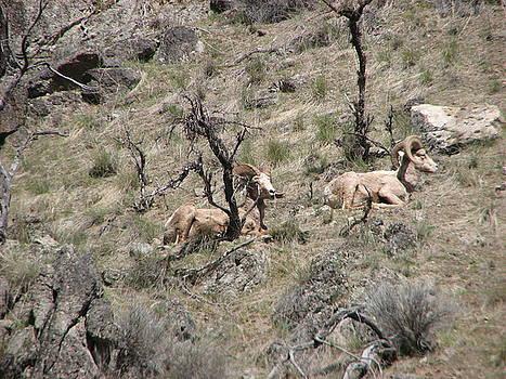 Bedded Bighorn Rams by Chad Hinckley