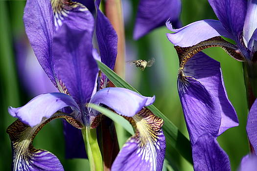 Anne Babineau - bee among the irises