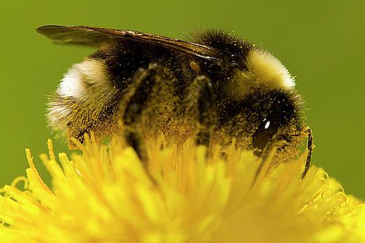Bee and flower by Jouko Mikkola