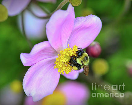 Bee and Japanese Anemone by Kerri Farley