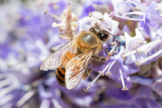 Bee and Lilac Tree by SR Green