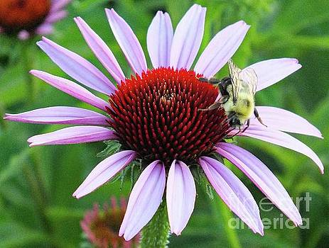 Cindy Treger - Bee and Perfect Coneflower