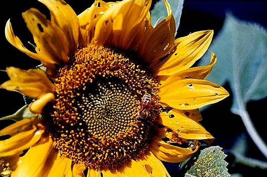 Bee and Sunflower by Sarah Anderson
