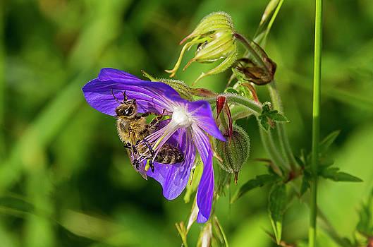 Bee at work by Ulrich Burkhalter
