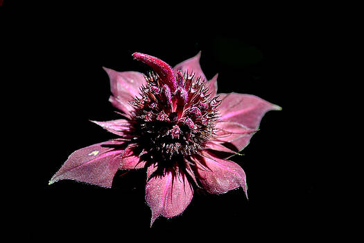 Bee Balm 3D by Carrie Cooper
