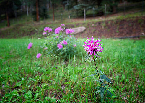 Bee Balm in the Mountains by Mary Lee Dereske