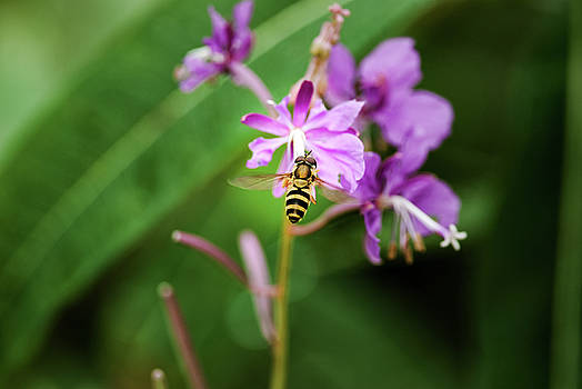 Bee Cause It's Fireweed by Ron Day