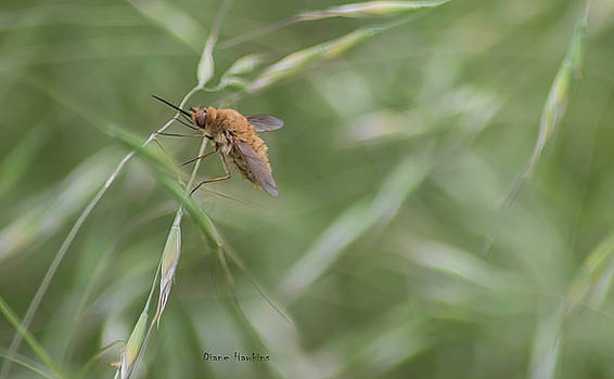 Bee fly by Diane Hawkins