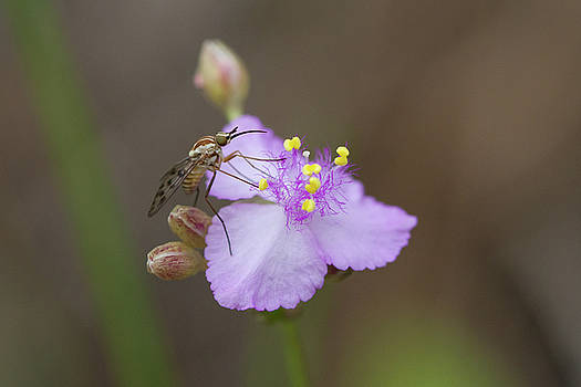 Paul Rebmann - Bee Fly on Roseling