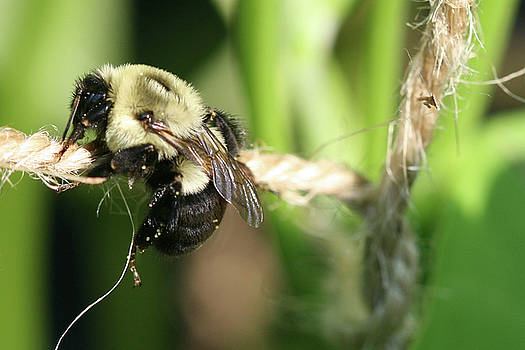 Bee Hanging onto Twine Glistening in Sunlight After Working by Bonnie Boden