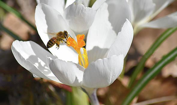 Bee in Crocus by Maria Keady
