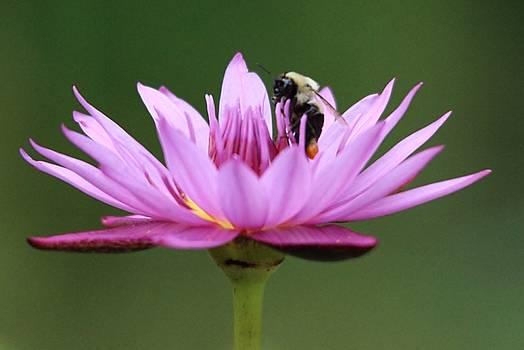Paulette Thomas - Bee Inside a Lotus Flower
