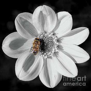 Bee on a flower - black and white by Vyacheslav Isaev