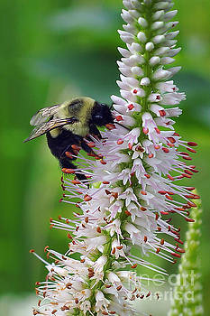 Bee on Culver by Robin Clifton