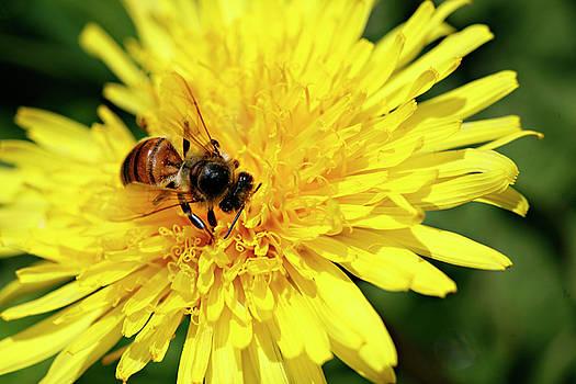 Marilyn Hunt - Bee on Dandelion