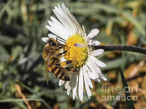 Bee on flower daisy by Giovanni Bertagna