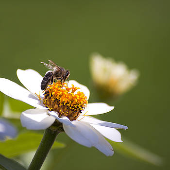 Bee on flower by Mickael PLICHARD