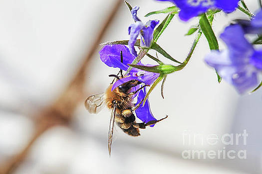 Bee on flower by Patricia Hofmeester
