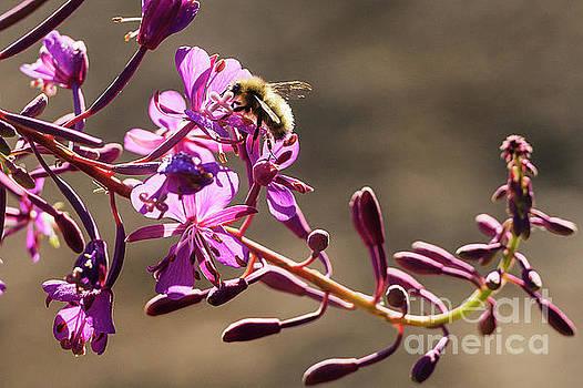 Paul Conrad - Bee on Lupine