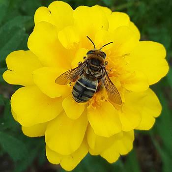 Bee on Marigold by Amy Jo Garner