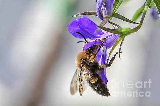 Patricia Hofmeester - Bee on purple flower