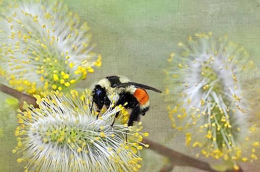 Bee on Pussywillow by Stephanie Calhoun