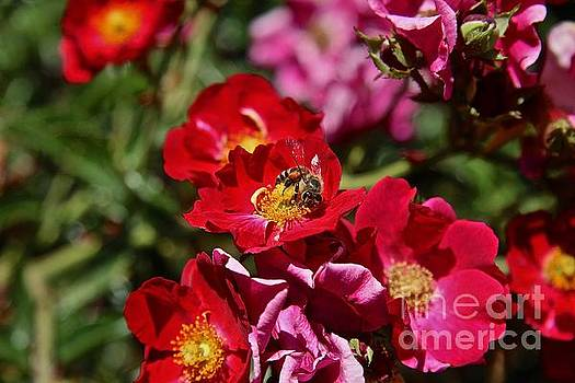 Bee on rose by Anthony Jones