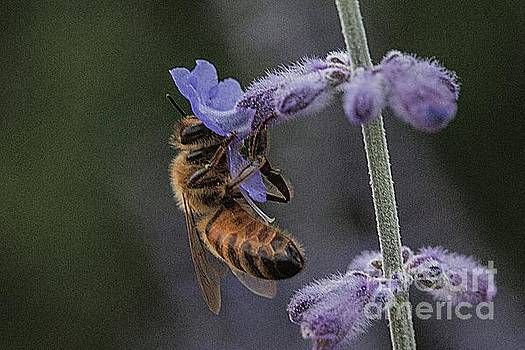 Bee on salvia by Jim Wright