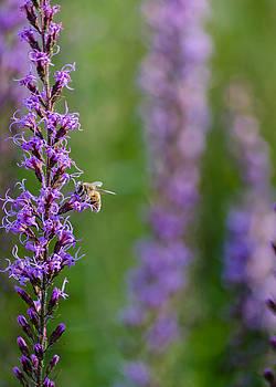 Bee on Slender Gayfeathers by Stephanie Maatta Smith