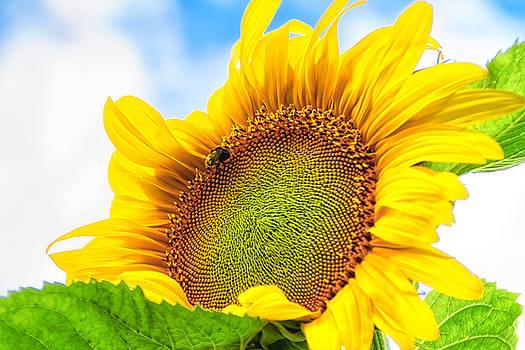 Bee on Sunflower by Lars Lentz