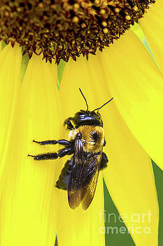 Regina Geoghan - Bee on Sunflower Petals