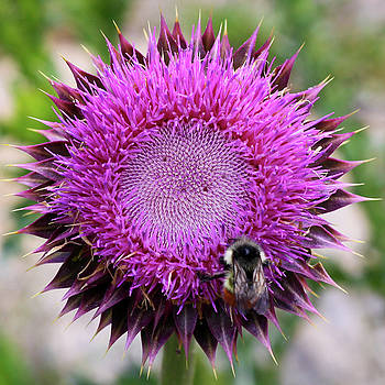 Bee on thistle by David Chandler