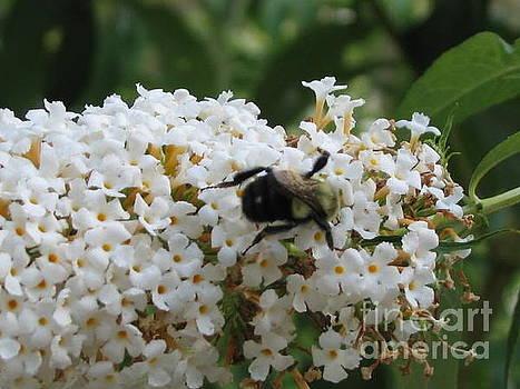 Bee On White Buddleia by Iris Newman