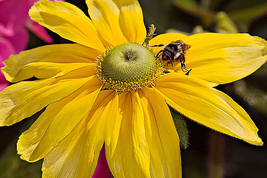 Bee on Yellow Cosmo by Peter J Sucy